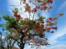 Flamboyant Tree in Lagoa Santa